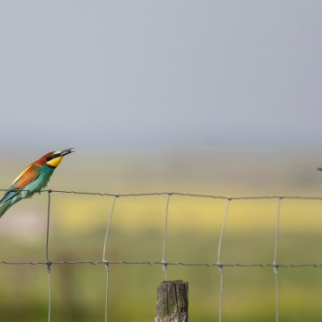 Biæder fra sletten omkring Belen. Extremadura 3