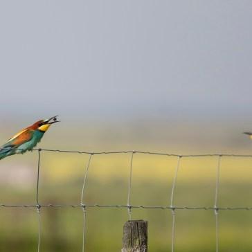 Biæder fra sletten omkring Belen. Extremadura 2