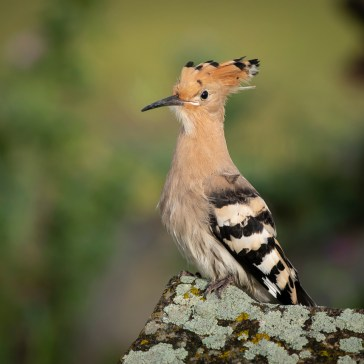 Hærfugl nær Campo Lugar. Extremadura 2