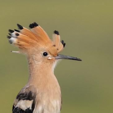 Hærfugl nær Campo Lugar d. 22 april. Extremadura 4