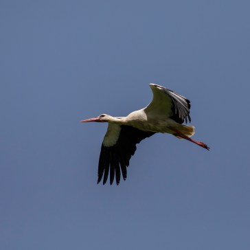 Stork fra Extremadura april 2018 5