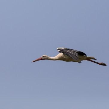 Stork fra Extremadura april 2018 4