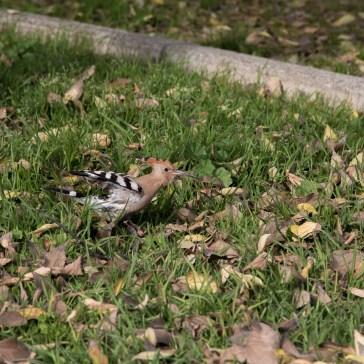 Hærfugl fra en park i Sevilla. uge 47. 3