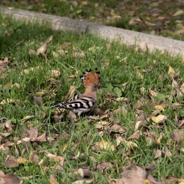 Hærfugl fra en park i Sevilla. uge 47. 1