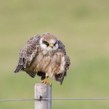 Kæk lille aftenfalk ( Falco vespertinus ) i aften lys, Vejrhøj. d. 16 aug. 2019. 2