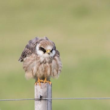 Kæk lille aftenfalk ( Falco vespertinus ) i aften lys, Vejrhøj. d. 16 aug. 2019. 3
