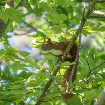 Egern fra Gåsemosen 2 juni 2020. 3