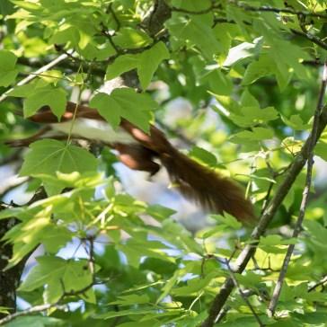 Egern fra Gåsemosen 2 juni 2020. 4