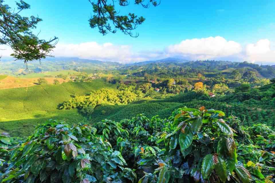 Coffee plantation near Manizales, Colombia