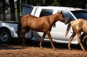 Ginger - 11 year old sorrel mare  (17)