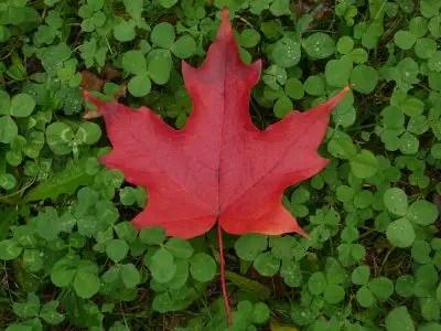 カナダ-有名なもの-メープル2
