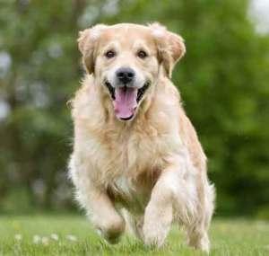 Tondeuses pour chiens