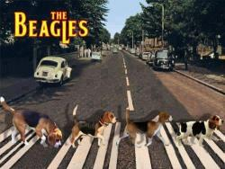 19092012: Abbey Road The Beagle