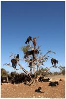 140527_tree_goats1