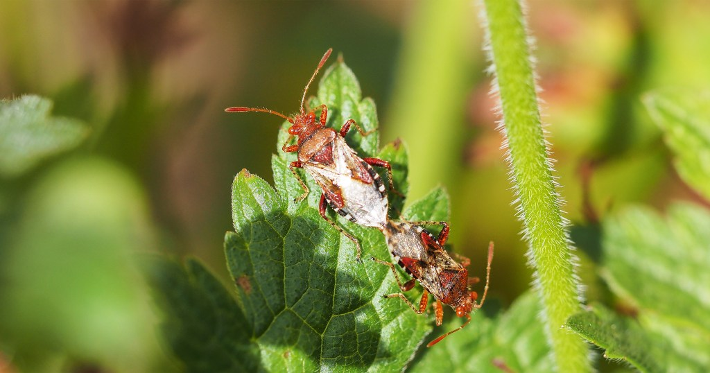 Two bugs mating