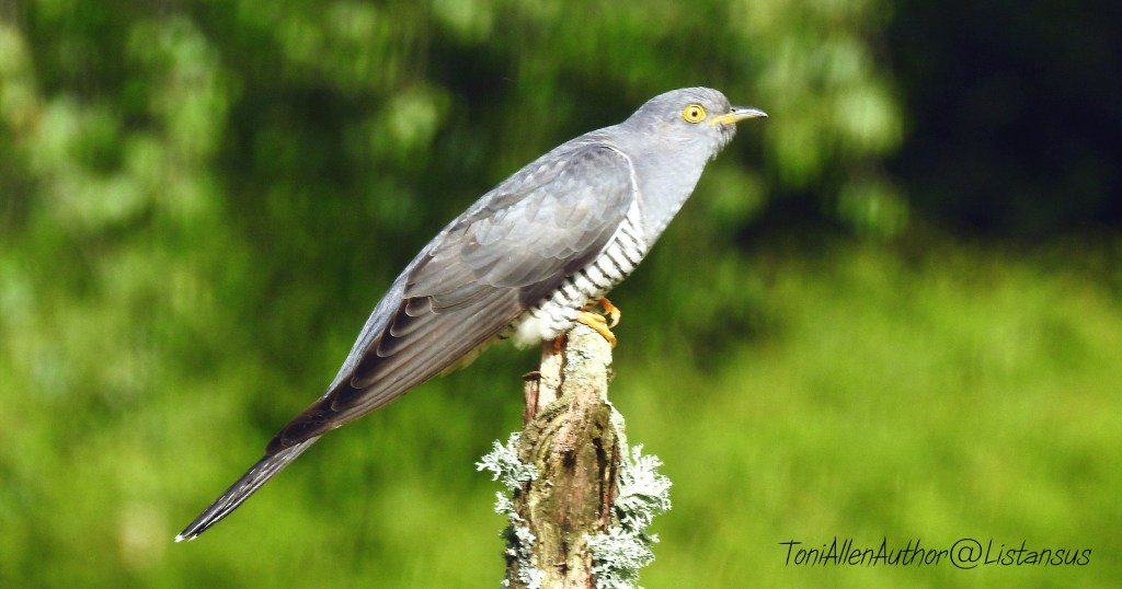 Charlie the cuckoo
