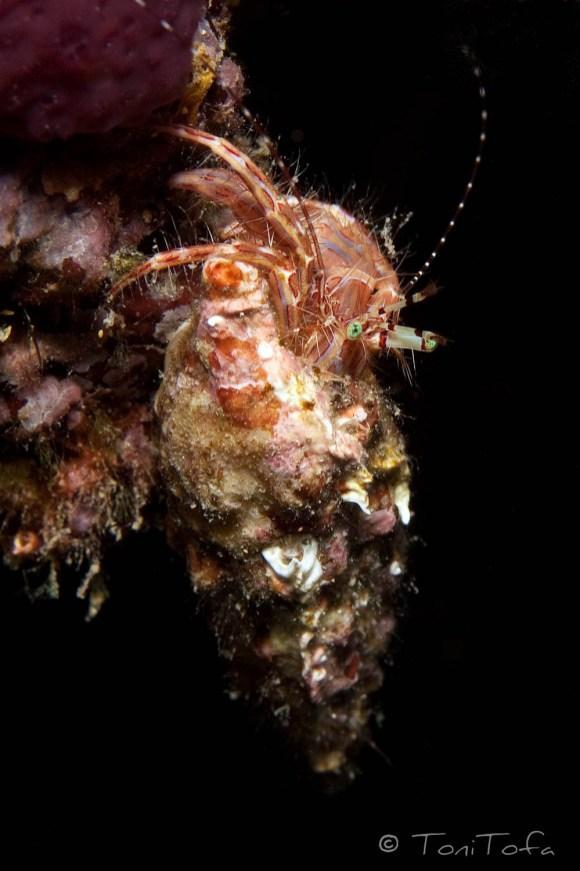 Clibanarius erythropus. Illa Negre, Begur.