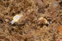 Ullastre III. 15m. Els dos opistobranquis de la foto són la mateixa espècie. El de la dreta té l'esquena pigmentada de vermell, però no les papil·les. GROC ( http://blog.opistobranquis.org/2010/06/diaphorodoris-luteocincta-vermella.html ) .