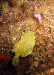 Felimare picta i Flabellina affinis