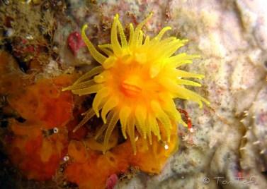 Ja és de dia a la vil·la del Pingüí!!! Corall incrustant groc Canons de Tamariu.