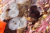 Mar Menuda, Tossa de Mar. 15m. 13ºC. Infralapidícola.