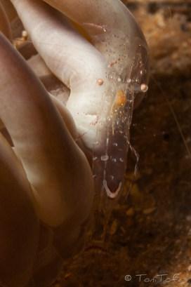 Mar Menuda, Tossa de Mar. 20m. 13ºC. Viu damunt l'anemona Condylactis aurantiaca ( http://www.flickr.com/photos/alopezarenas/5465953894/ ) .