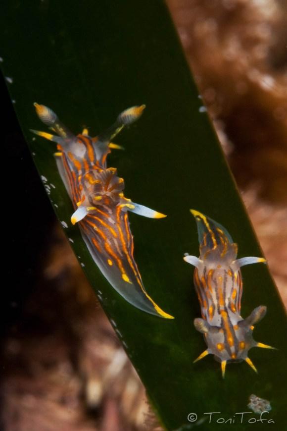 Polycera quadrilineata. Mar Menuda, Tossa de Mar. 5m. 15ºC.