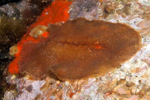 Mar Menuda, Tossa de Mar. 15m. 17ºC. Infralapidícola.