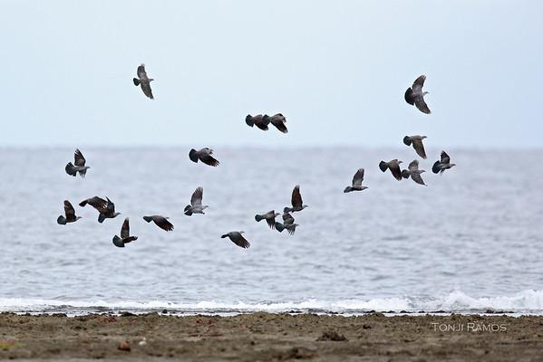 Spotted Imperial Pigeon flock tonjiandsylviasbirdlist.com