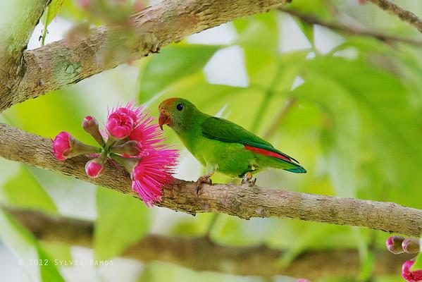Colasisi. Photo by Sylvia Ramos. tonjiandsylviasbirdlist.com