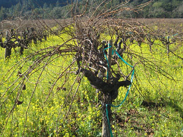 Old Sauvignon vine in To Kalon's I Block vineyard