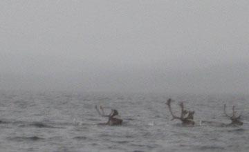 Caribou swimming