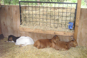 Goats at Salt Spring Island Cheese Company
