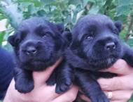 Scottish terrier puppies, 4 females and 2 males