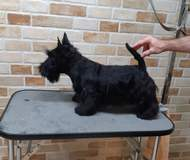 Scottish terrier male, 5 montsh old