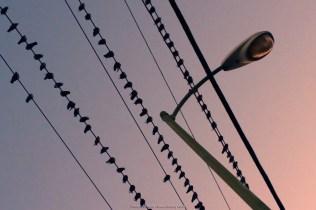 birds-on-wires