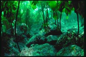 kelp_forest_15_4