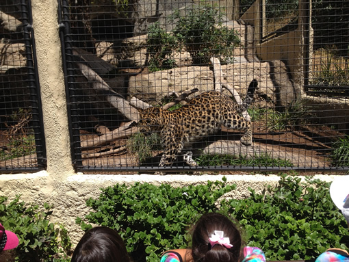 San Diego Zoo Jaguar