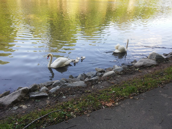 Lake Lomond swans