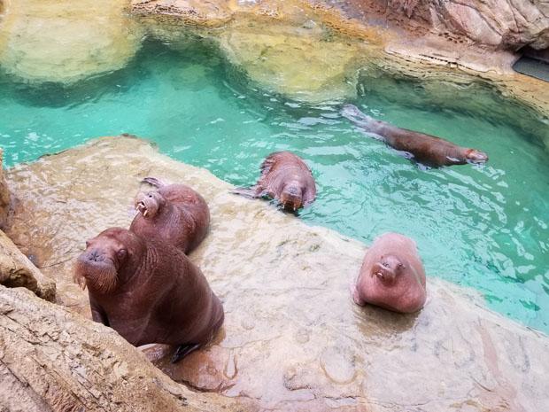 Chimelong walruses