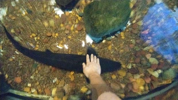 Shedd Aquarium sturgeon touch tank