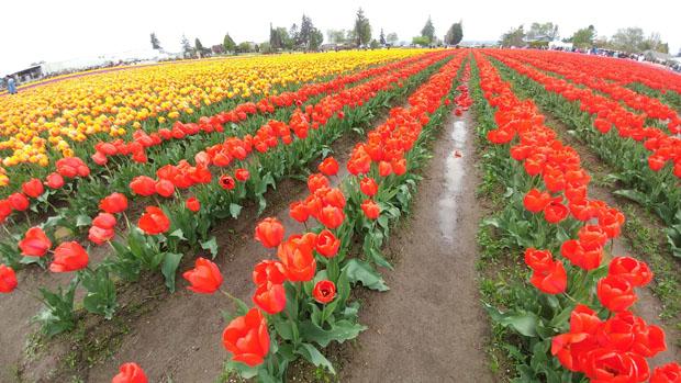 Valley Tulip Festival Roozengaarde