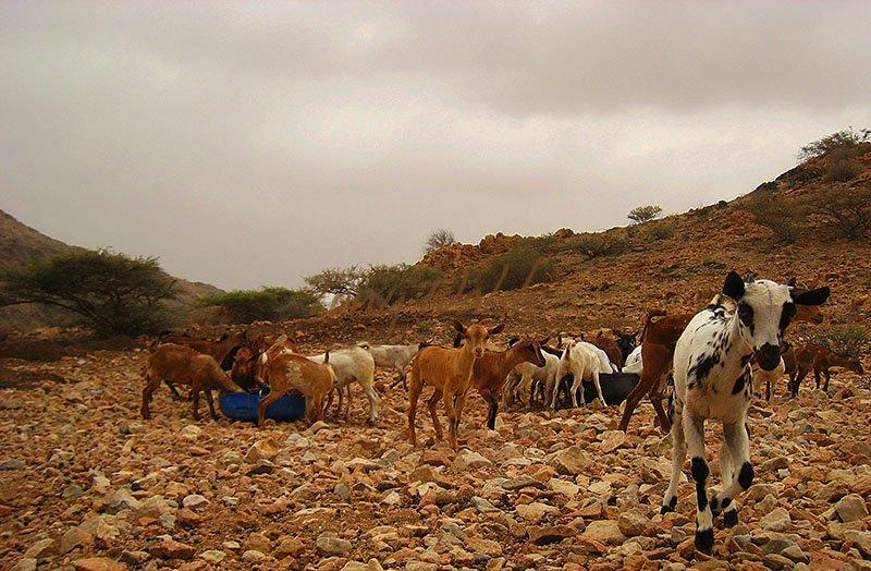 Goat kids Dhofar