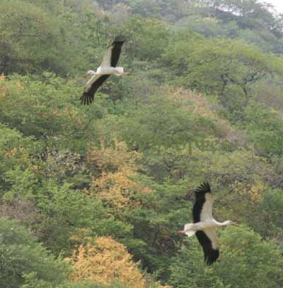 White Stork Dhofar