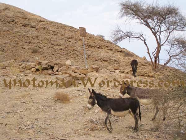 Donkeys in Bandar Jissah's wadi