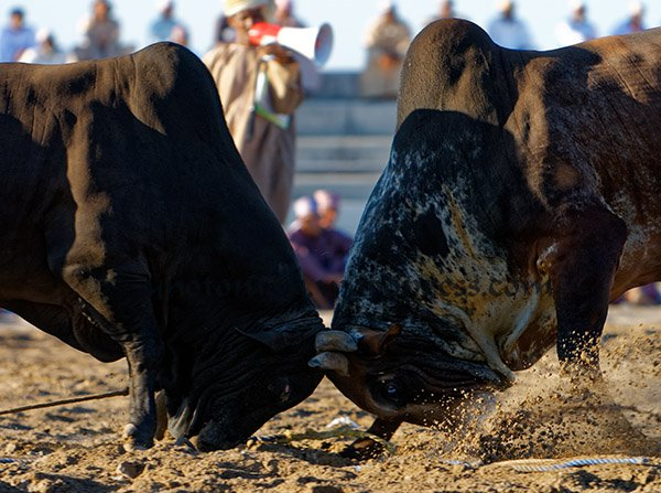 Bull Fight Barka Oman