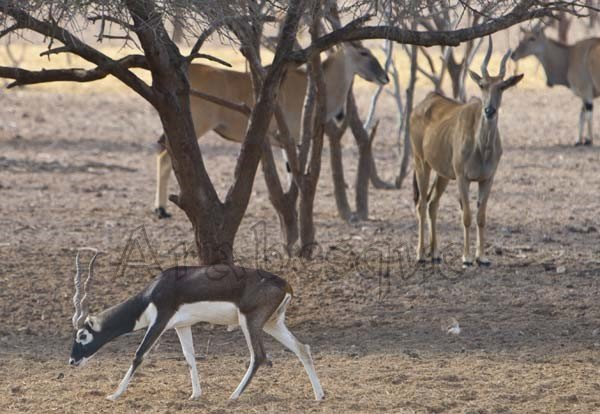 Sir Bani Yas animals