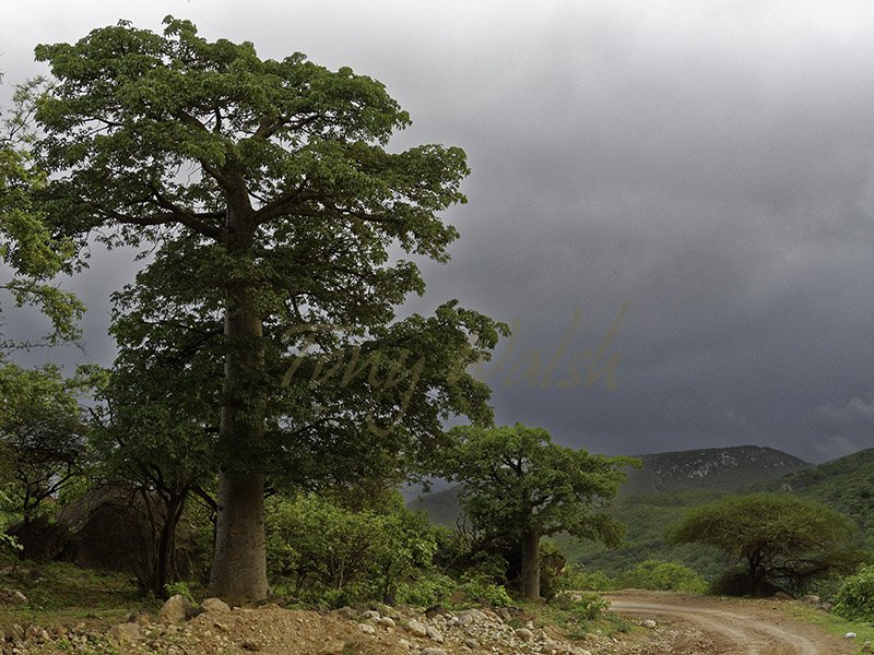 Baobab Adansonia digitata Dhofar
