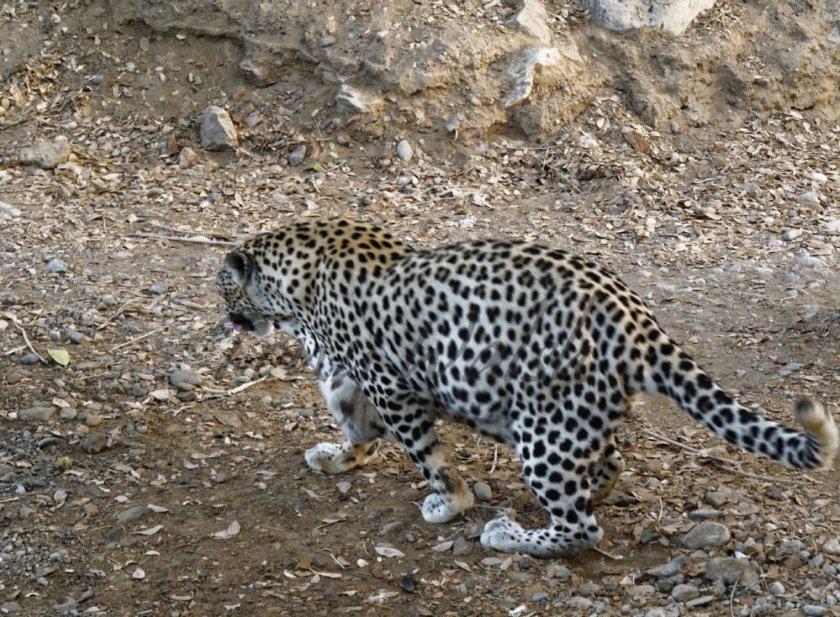 Arabian Leopard Scrape Oman