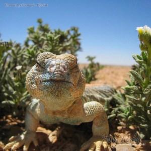 Uromastyx thomasi Dhofar